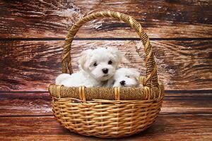 Hundvalpar i hundkorgar